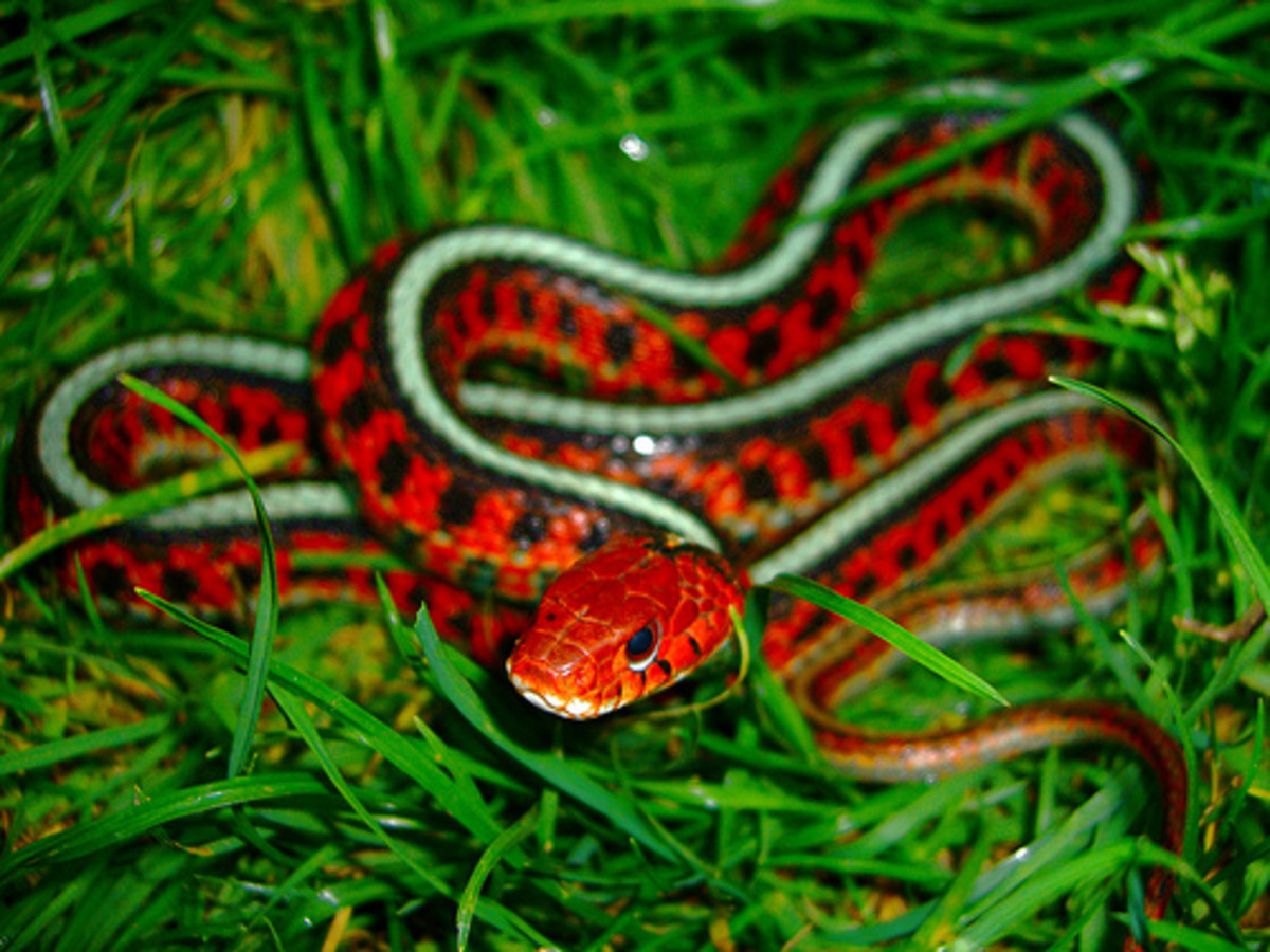 The Red Sided Garter Snake is one of the most beautiful snakes on earth.