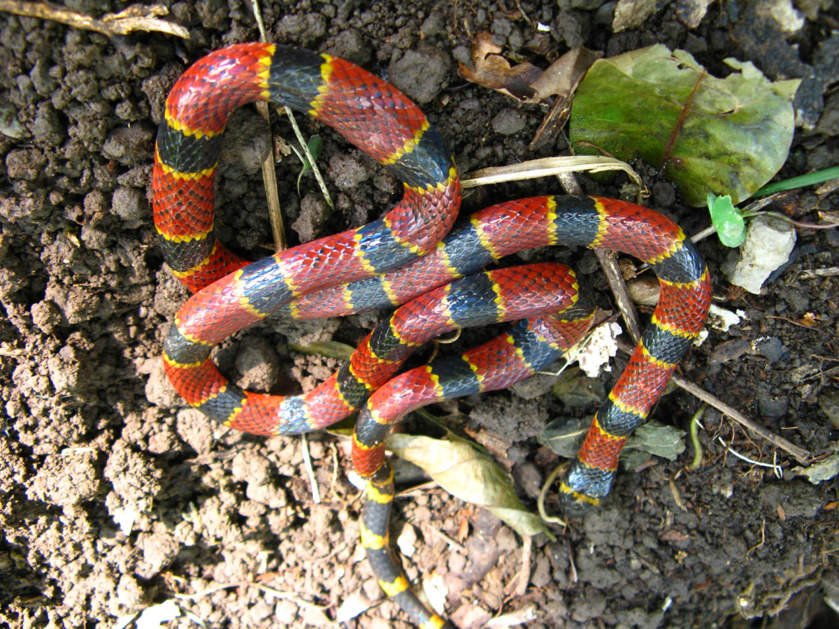 This is the species of  Coral Snake found in the Southeastern United States. This snake is often confused with the Scarlett King Snake.
