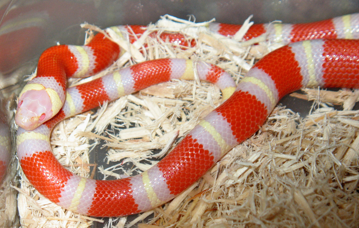 Above is Nelson's Milk Snake native to Mexico and a sub species of King Snake.