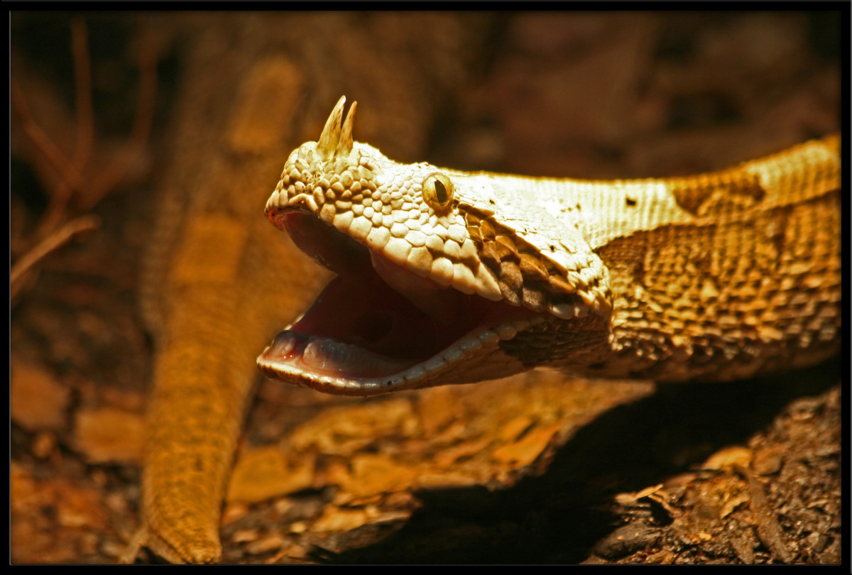 The Horned Viper which is a venomous species of snake finishes off our list of the most amazing snakes on earth.
