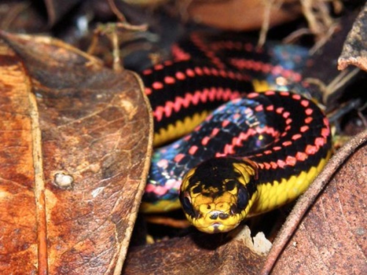 The Pink Snake native to Madagascar is truly one of the most beautiful snakes in the world.