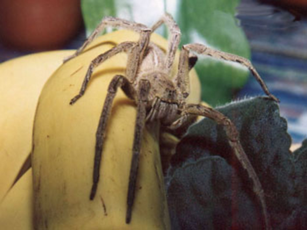 Wandering Spider taking a cruise to the U.S. on a banana boat.