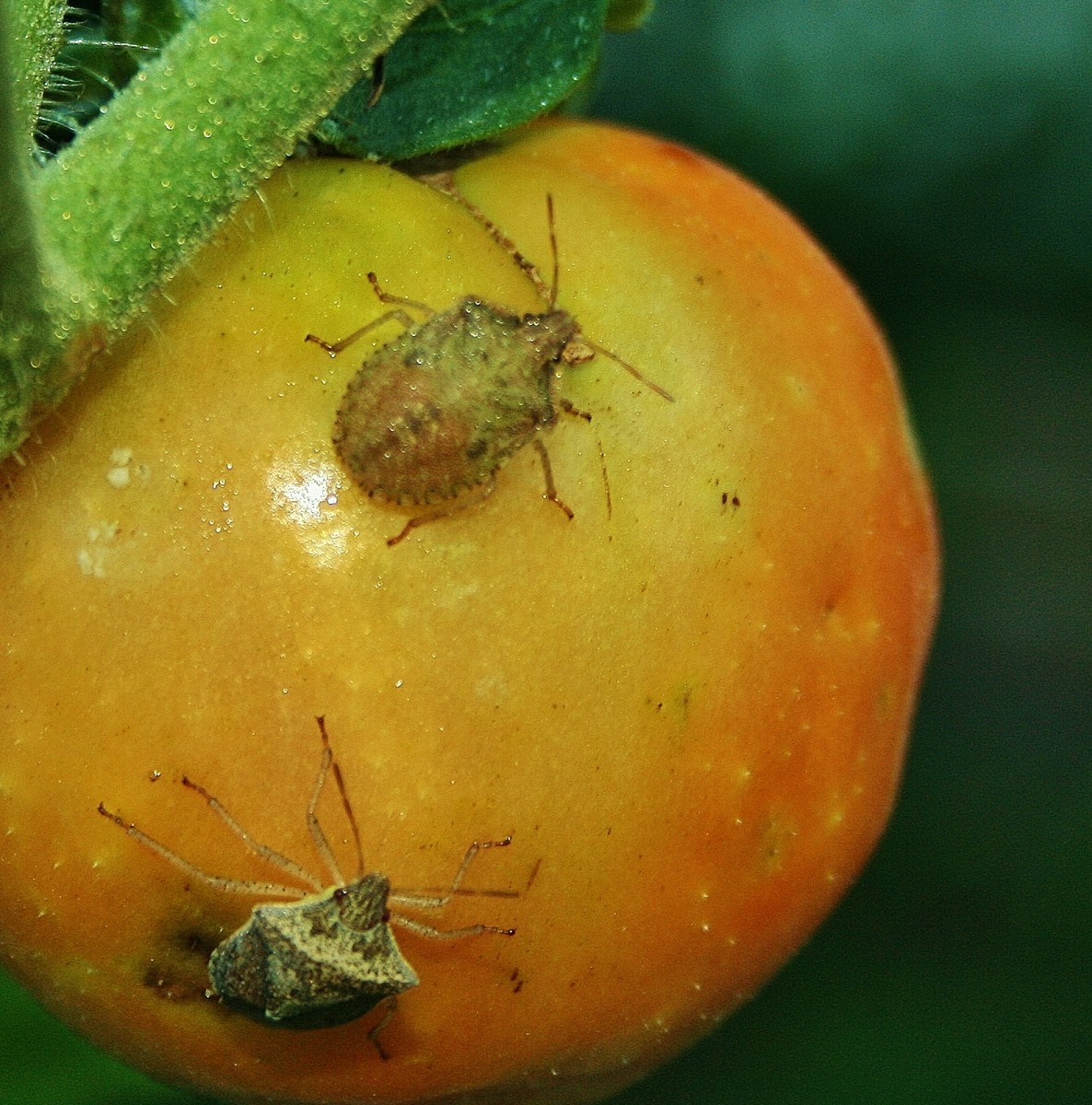 When stink bugs feed on tomatoes, they damage the fruit, but it's still edible.