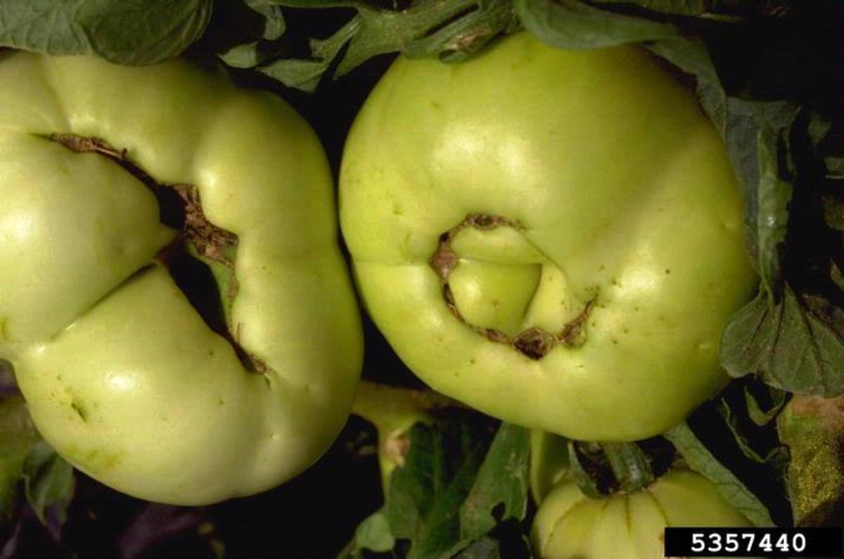 Deformed tomatoes with deep scars and holes on the bottoms are catfaced.