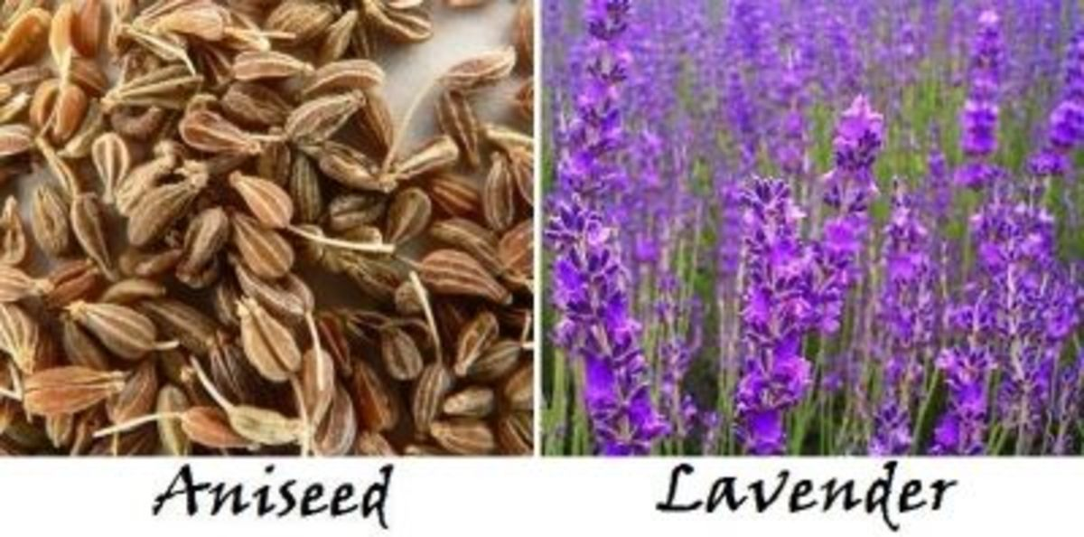 Aniseed and Lavender