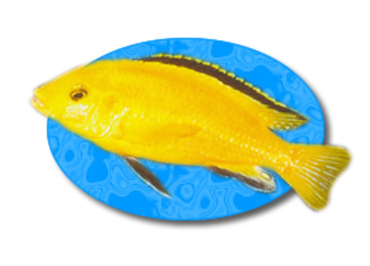 Their bright yellow coloration and fairly mild temperament make Electric Yellow Lab Cichlids a popular choice from the waters of Lake Malawi.