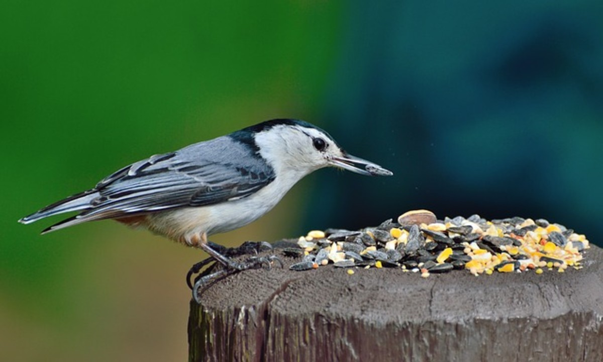 White-Breasted Nuthatch Bird Feeding