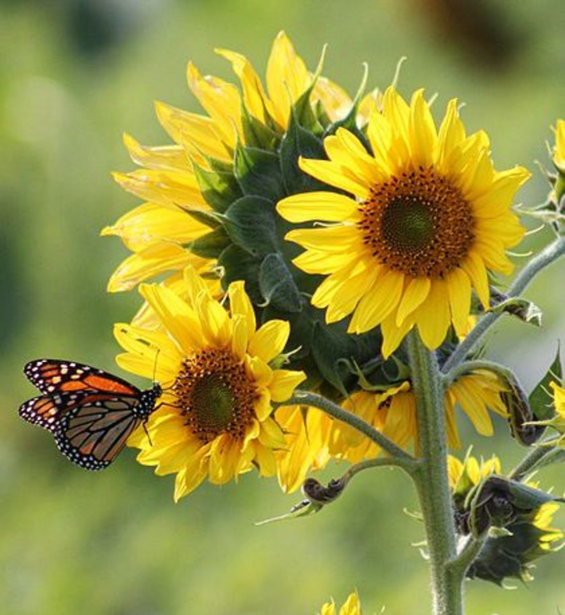 Sunflowers yellow petal flowers and butterfly