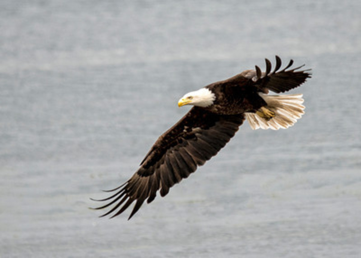 Key Peninsula is home to bald eagles.