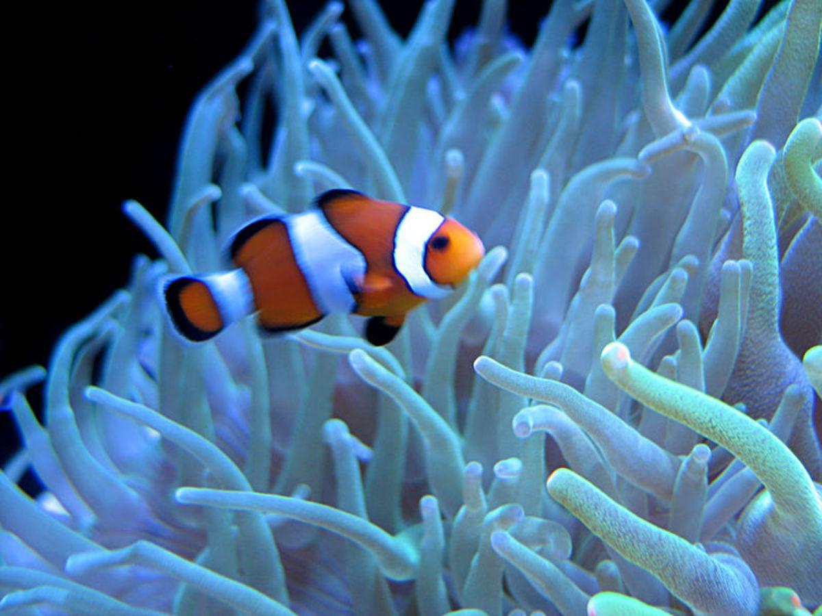 A clownfish enjoying an anemone in a private saltwater aquarium.