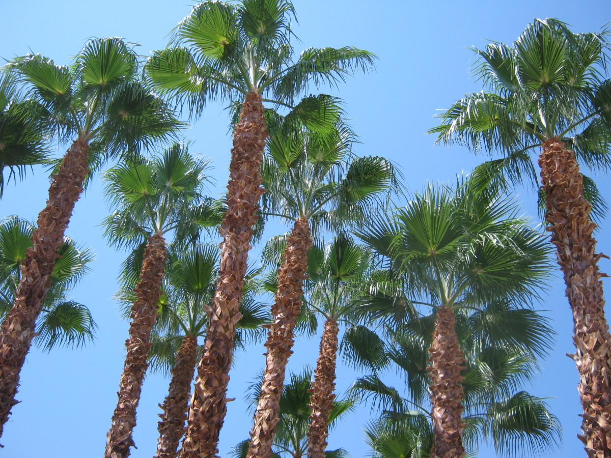 Pretty Las Vegas palm trees.