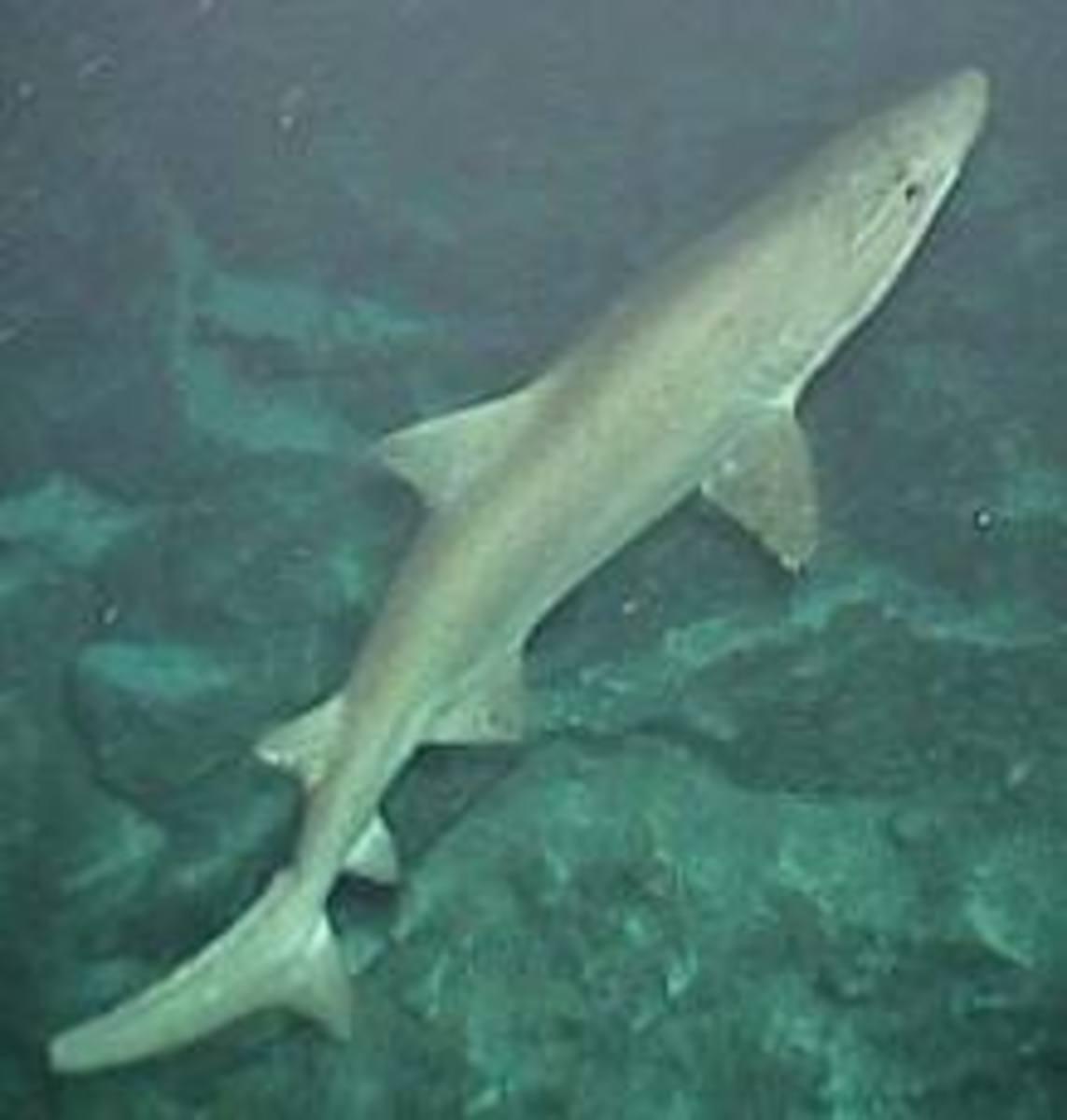 Sand tiger (also known as Grey nurse) shark