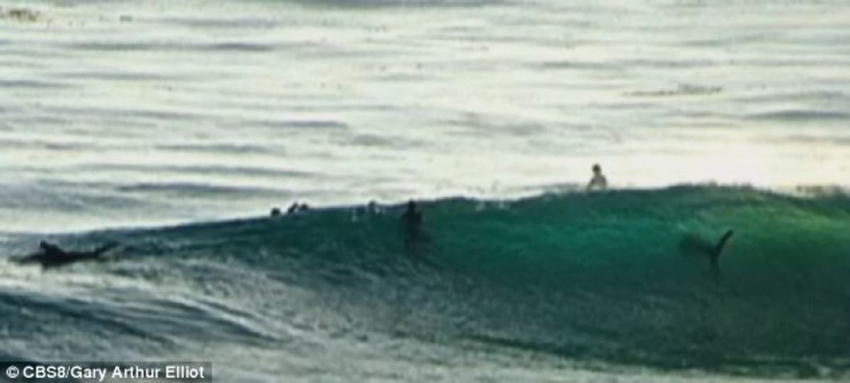 photo taken by passerby Gary Arthur Elliot - you can see the shark, believed to be a Great White, to the right of the picture.