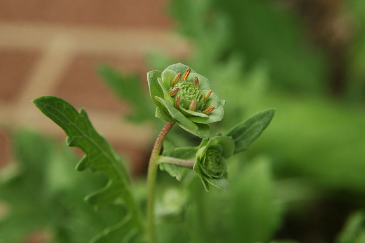 Chocolate Flower (Berlandiera lyrata), Sensory Garden, Missouri Botanical Garden