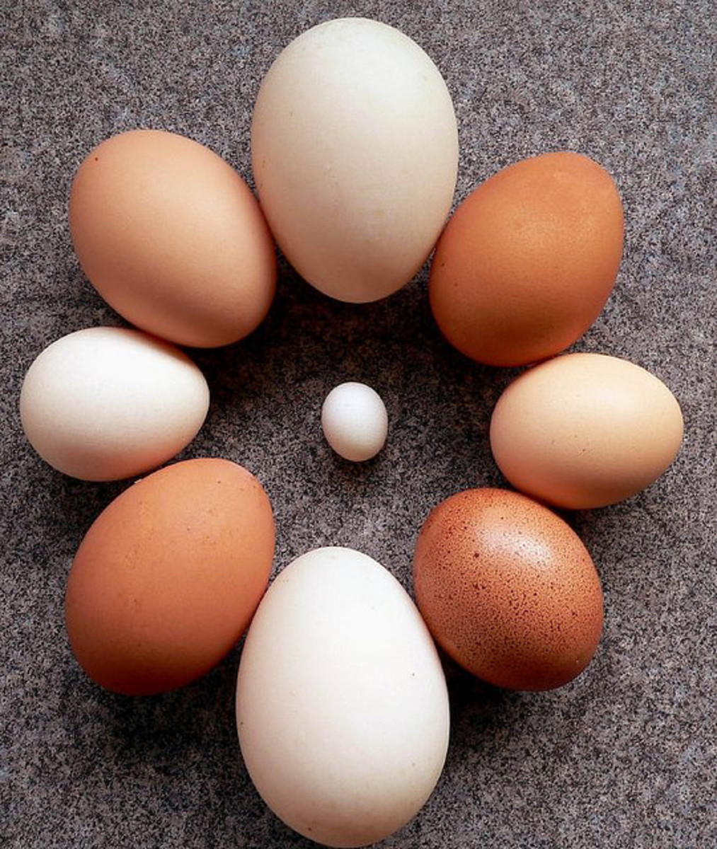 How an Egg is Formed - Egg Anomalies - Abnormal Eggs - Egg-cellent Information