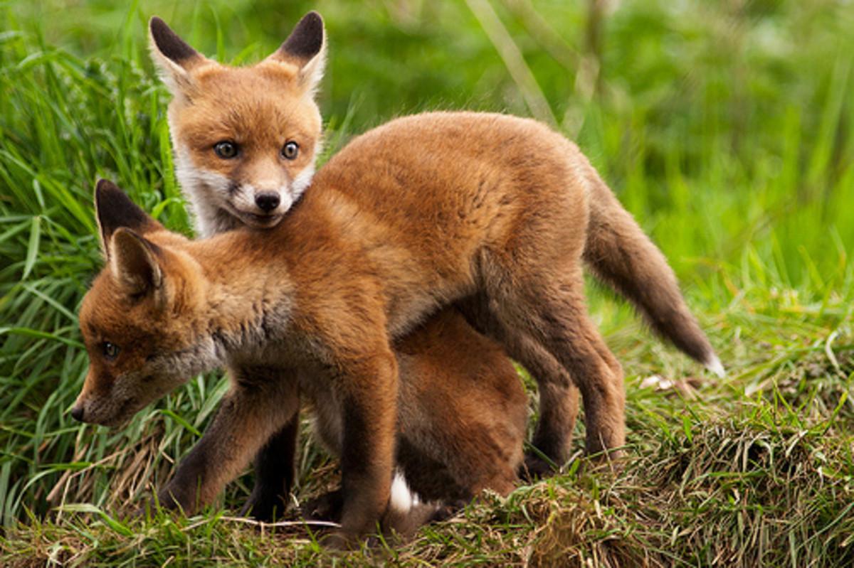 Playful fox cubs
