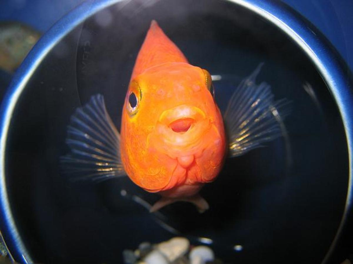 An adorable Red Blood Parrot Cichlid