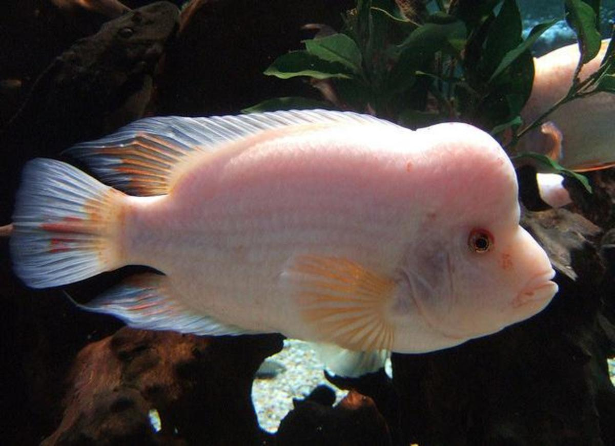 Red Devil Cichlid