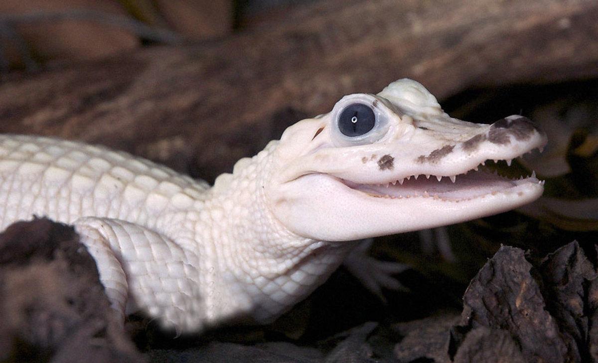 Leucistic Crocodile hatchling