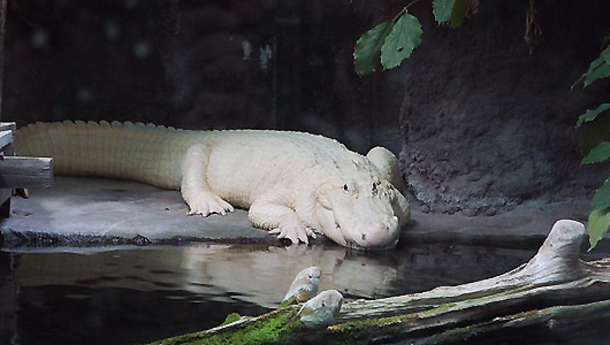 What's the Difference Between a Leucistic Crocodile and an Albino Alligator