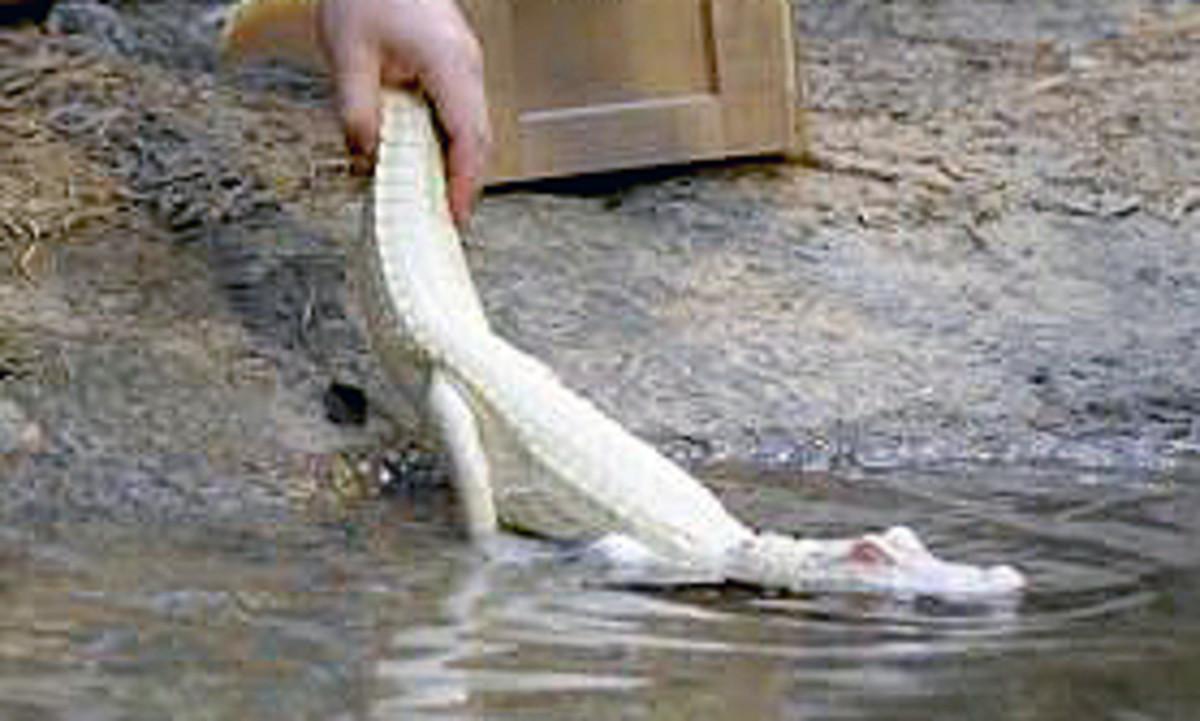 Releasing Albino hatchling into farm pond