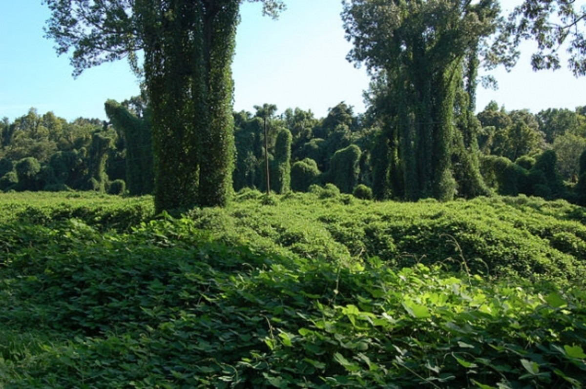 Kudzu-covered field near Port Gibson, Mississippi