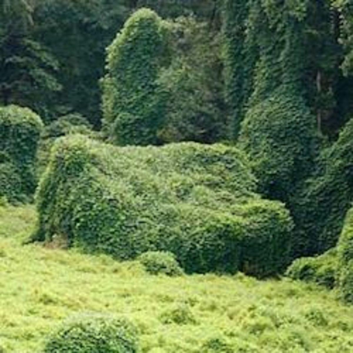 Kudzu: The vine that ate the south