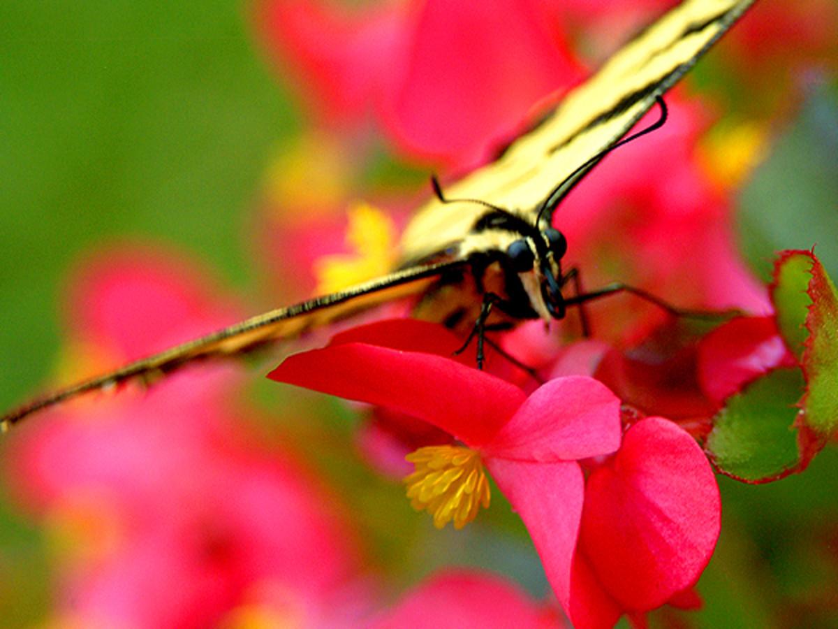 Razor Winged Butterfly