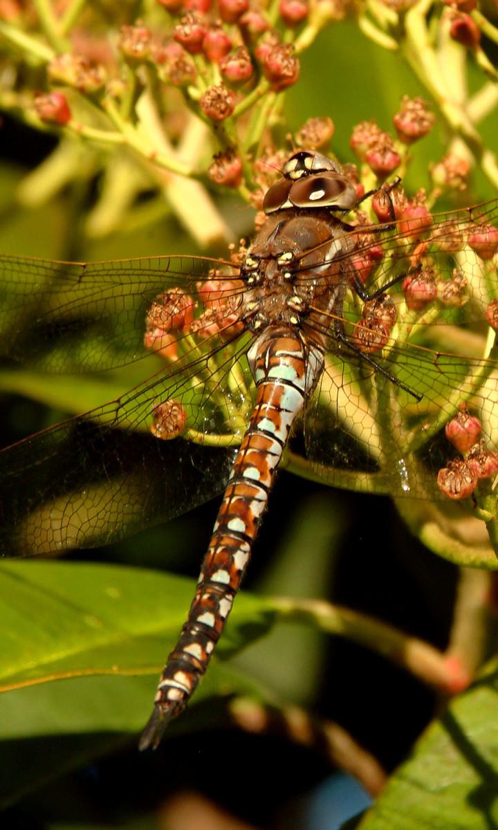 Dragonfly Torso