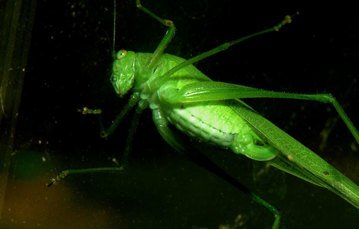 Bright Green Grasshopper Belly Through Glass
