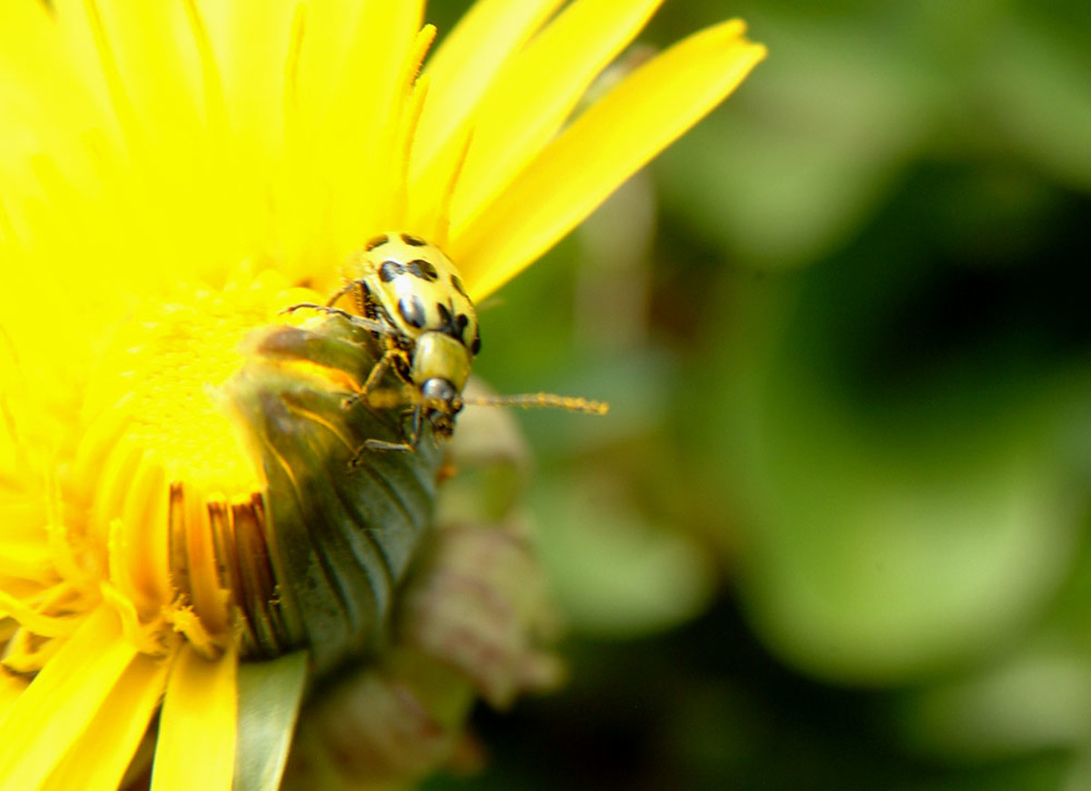 Beetle on Dandy