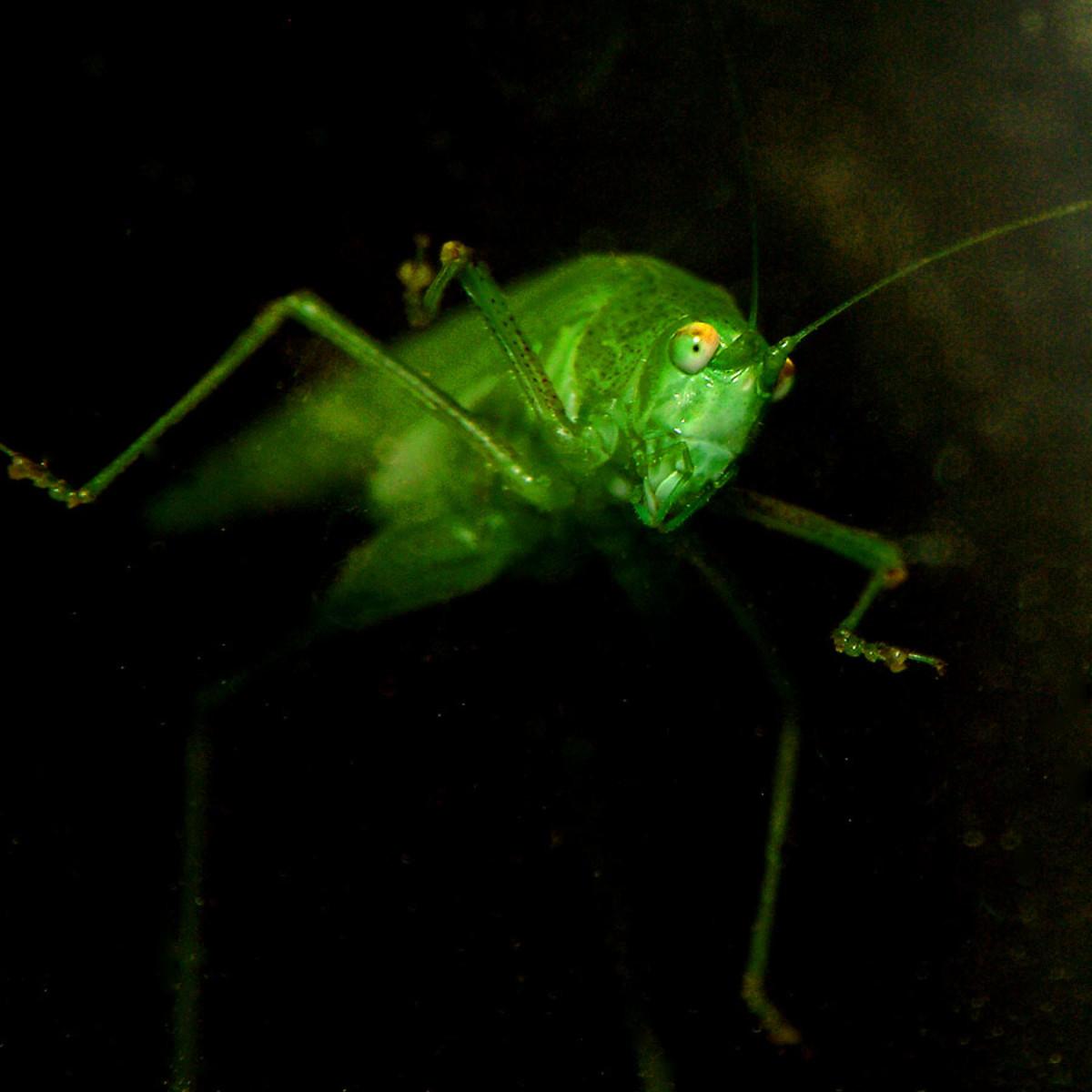 Creepy Green Grasshopper Face