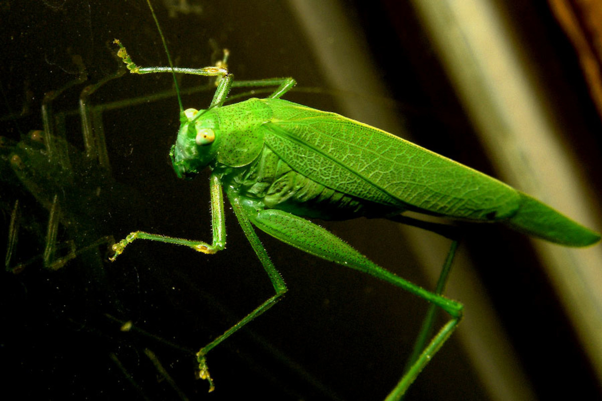 Reflections of a Bright Green Grasshopper on Glass
