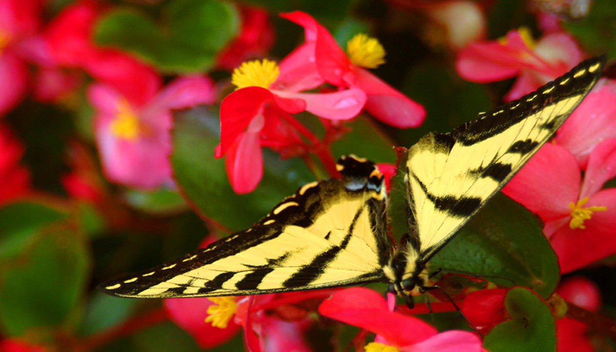 Resting Butterfly on Pink and Yellow Flowers