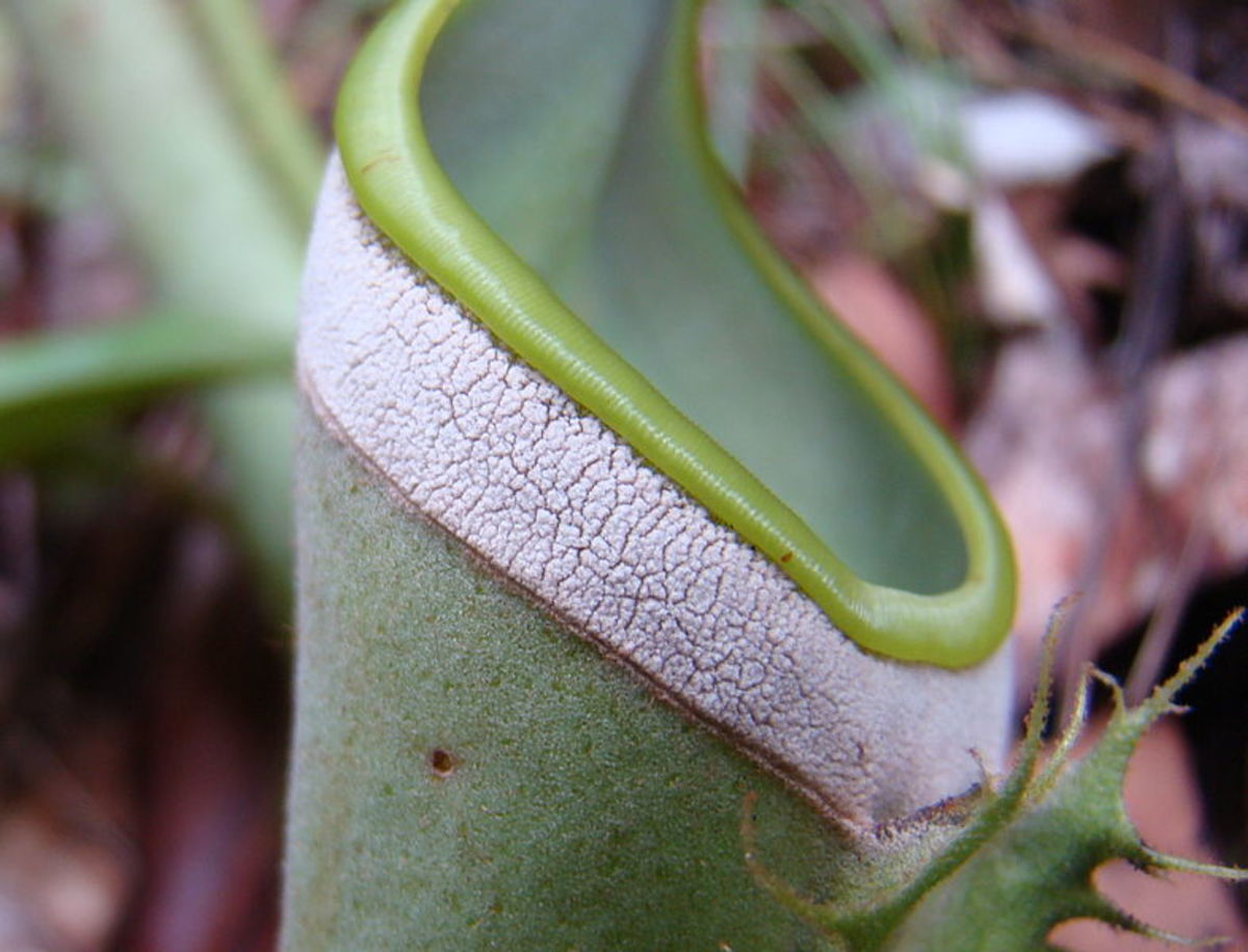 Nepenthes albomarginata, before termite feeding frenzy.