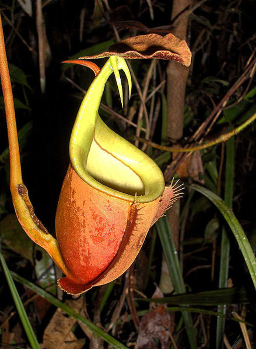 An upper pitcher of Nepenthes bicalcarata, the Fanged Pitcher-Plant.  Note the spurs underneath the lid of this pitcher.