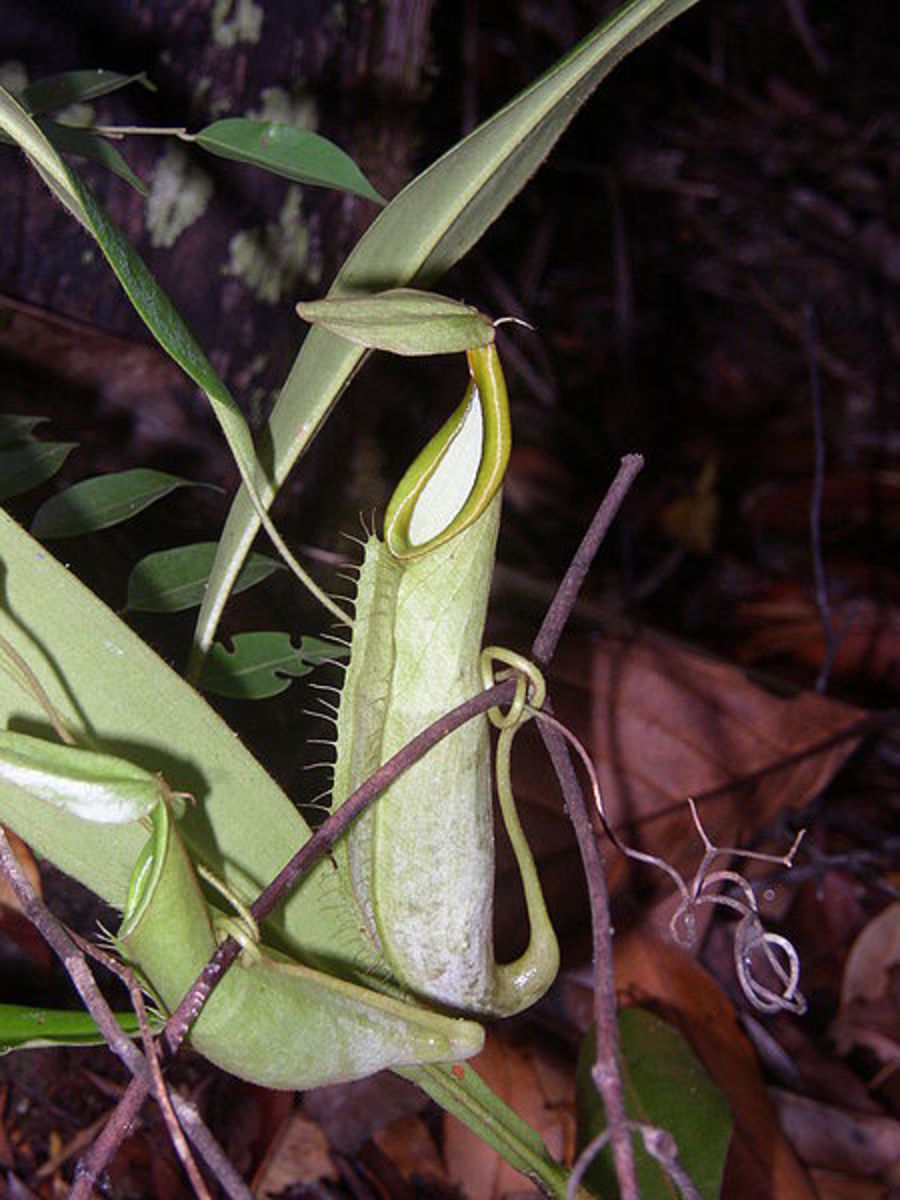 Upper pitchers of Nepenthes hirsuta.