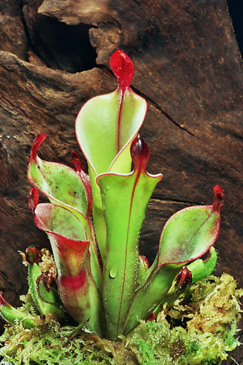 The pitchers of Heliamphora chimantensis are derived from the whole leaf, rolled and fused along its edge.
