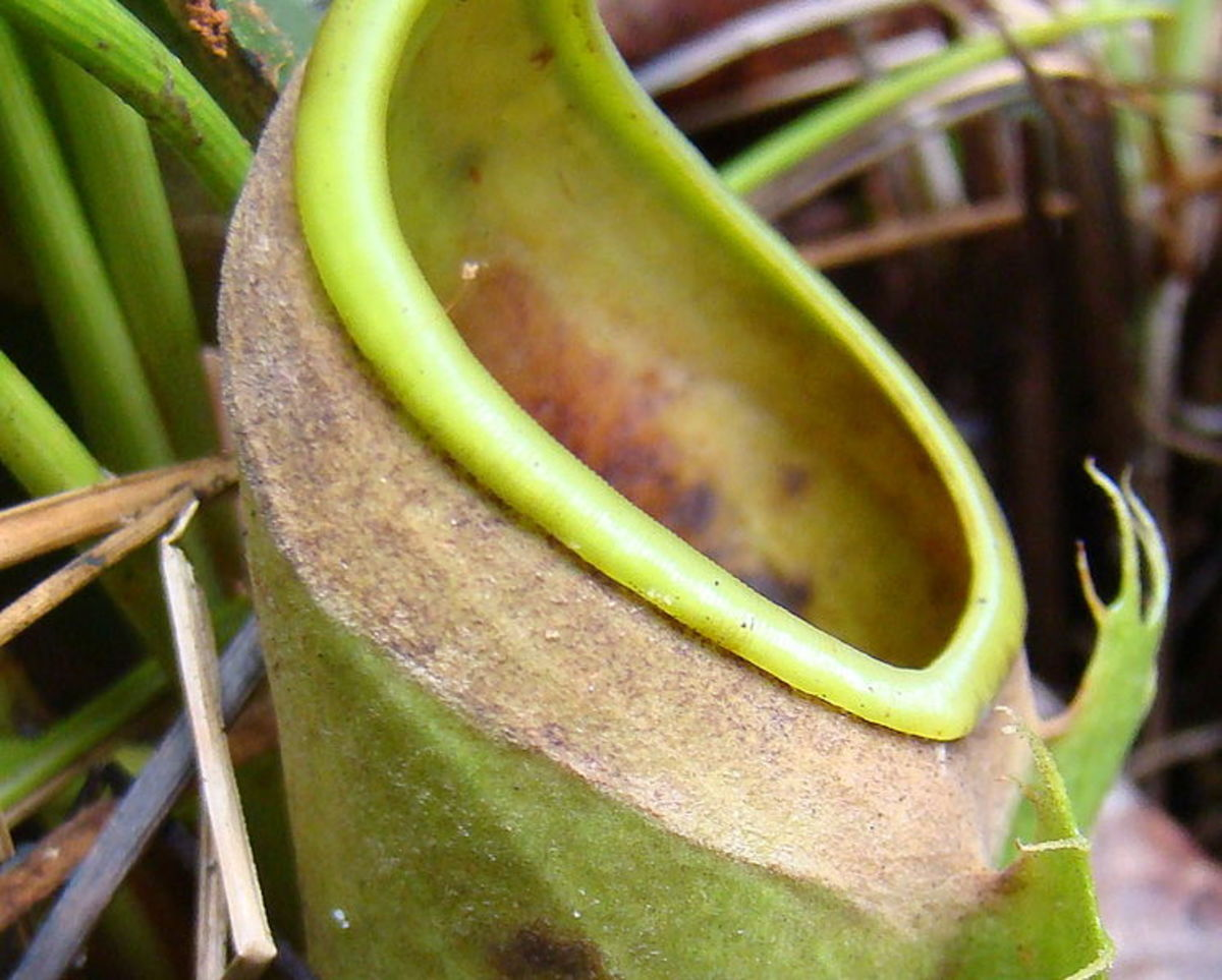 Nepenthes albomarginata, after termite feeding frenzy.  Note the distinct lack of white trichomes and termites.
