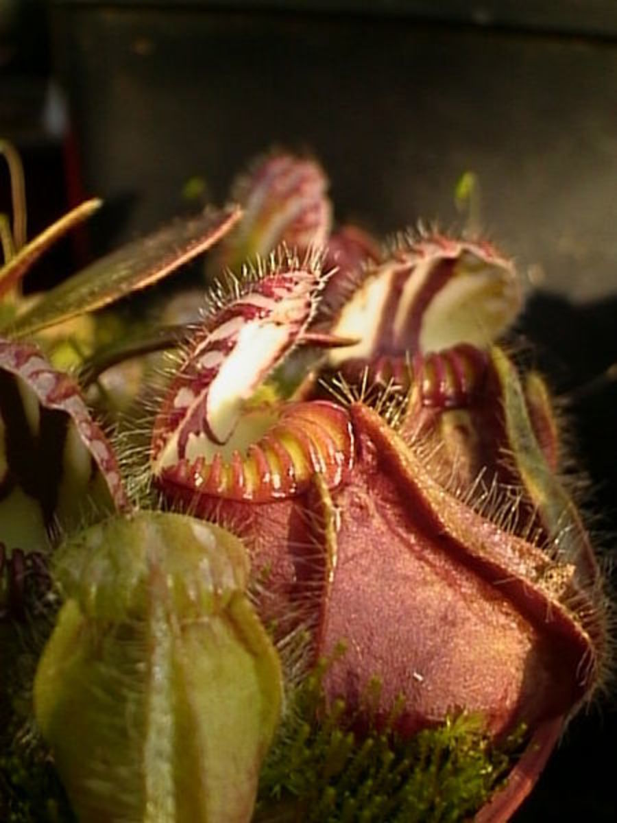 The pitchers of Cephalotus follicularis.  Surprisingly more closely related to strawberries and roses than to any of the other pitcher plants mentioned.