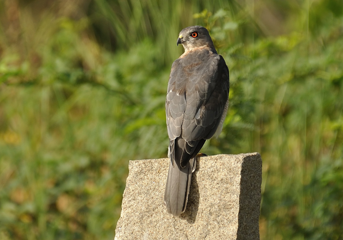 The Shikra is on a high alert for the smaller birds of prey flying nearby.