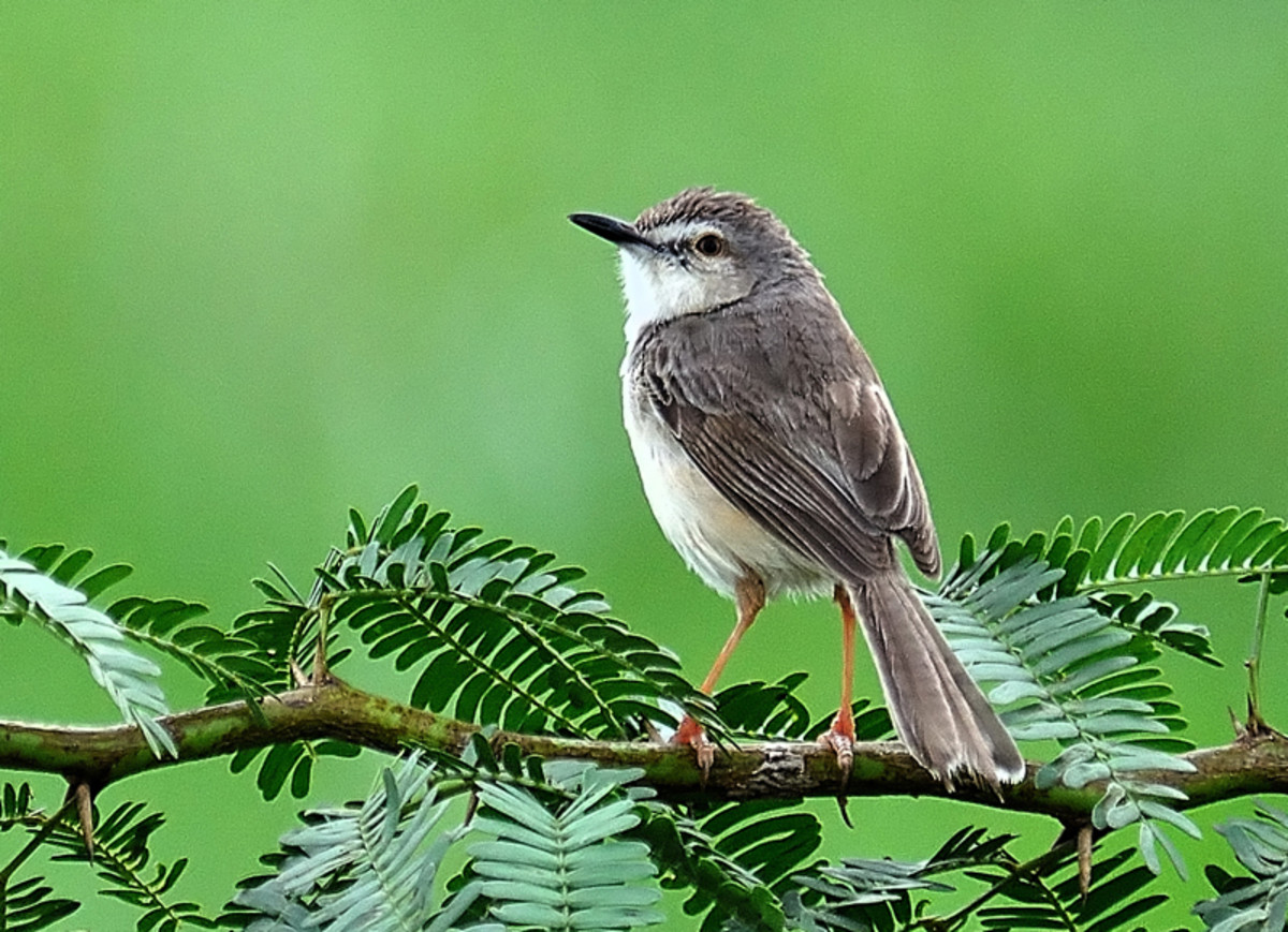 The Ashy Prinia or Ashy Wren Warbler has a variety of sounds under his belt. (Alongside Chitravati road)