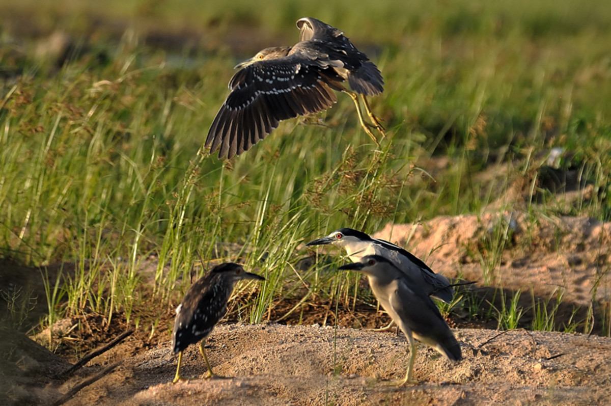 A restless youngster of the night heron family takes off. (Inner banks of Sahebcheruvu lake)
