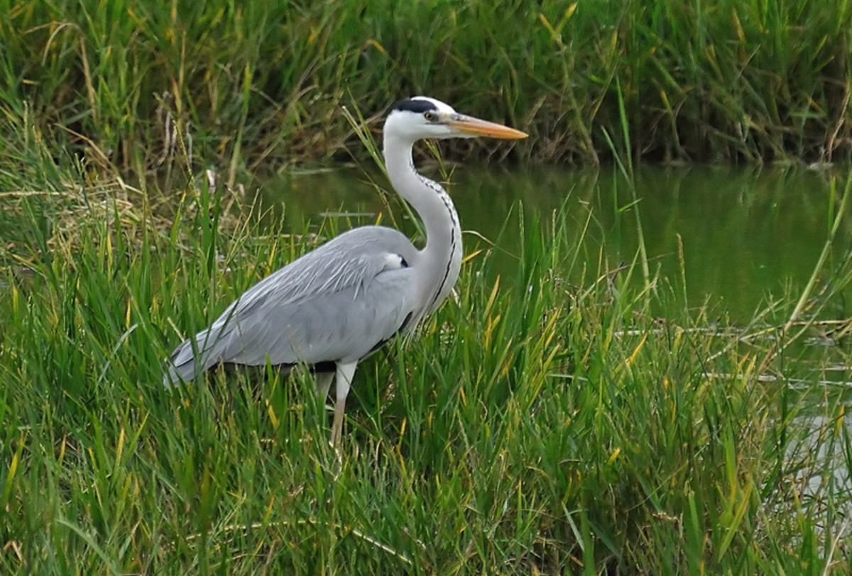 The majesty and beauty of the slender Grey Heron is matched by only a few in the world of birds. (Sahebcheruvu lake)