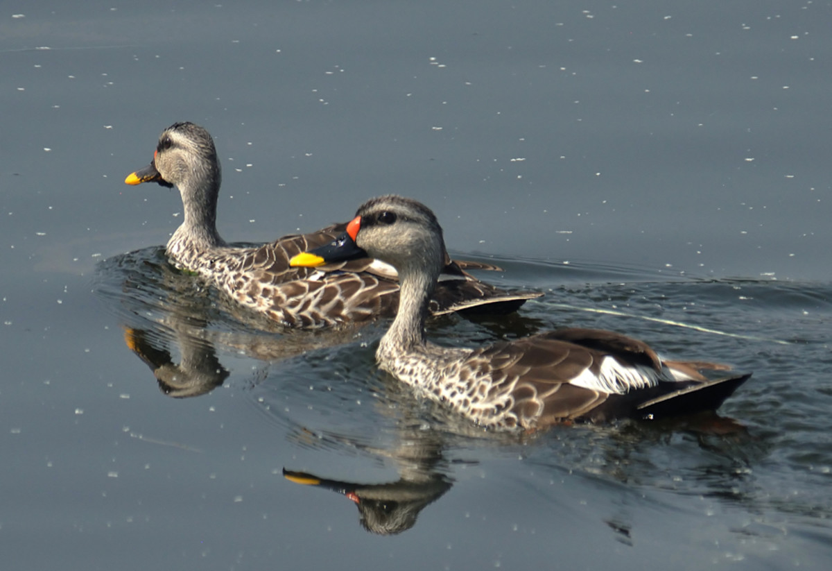 Two male Spot Billed Ducks 'reflect' on their next move. (Sahebcheruvu lake)