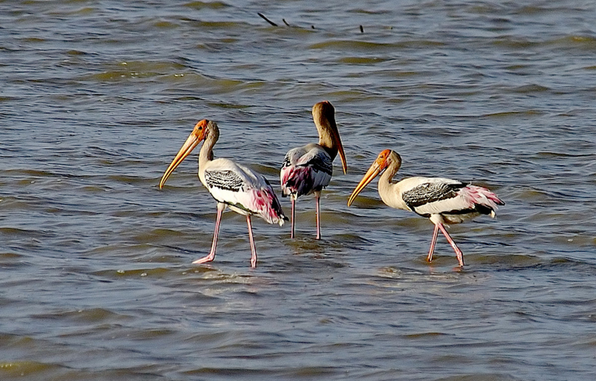 The Painted Storks fish together, eat together and fly away together too! (Bukkapatnam lake)