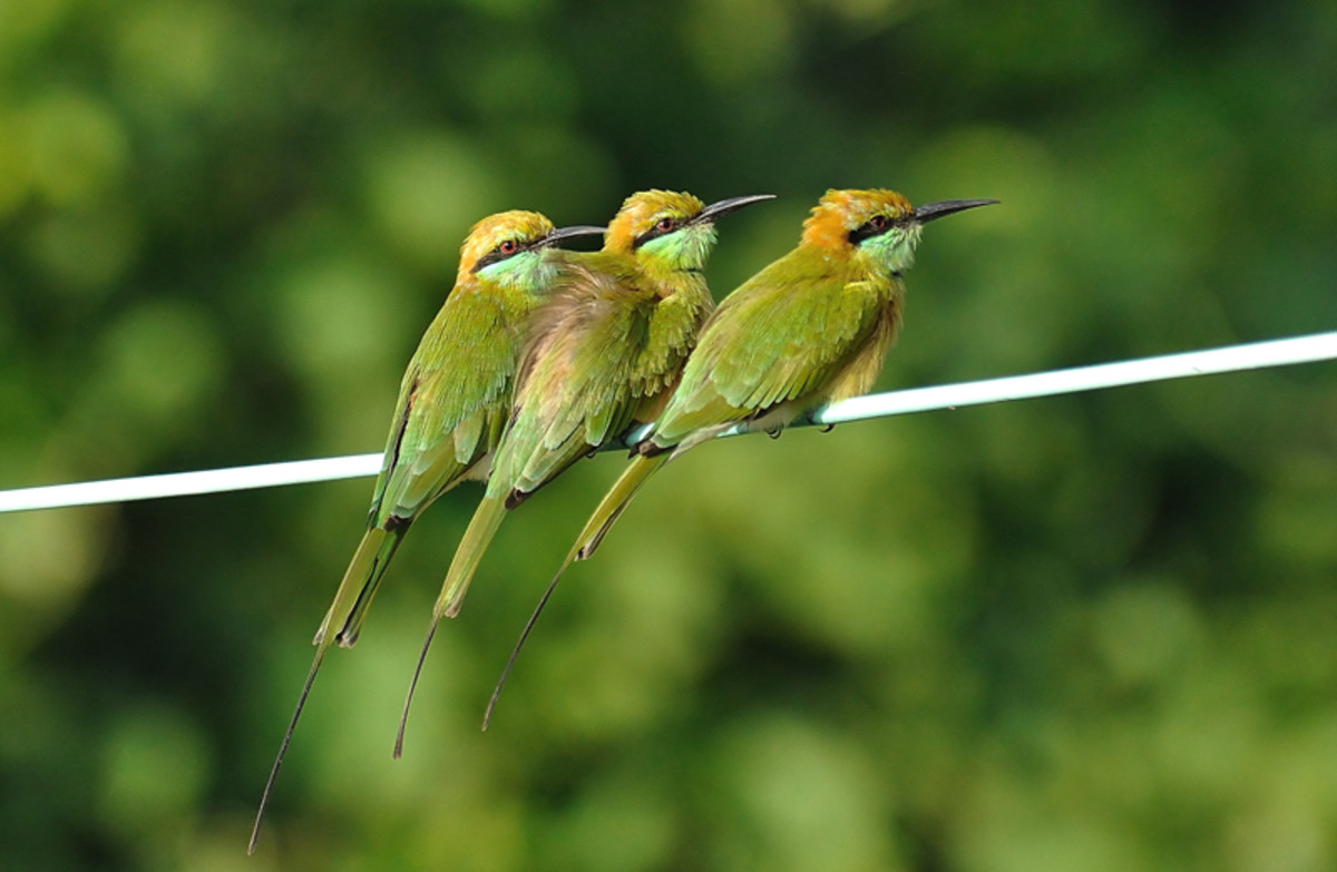 The Small Green Bee Eaters pick off bees in flight with deadly accuracy. (along the banks of Chitravati river)