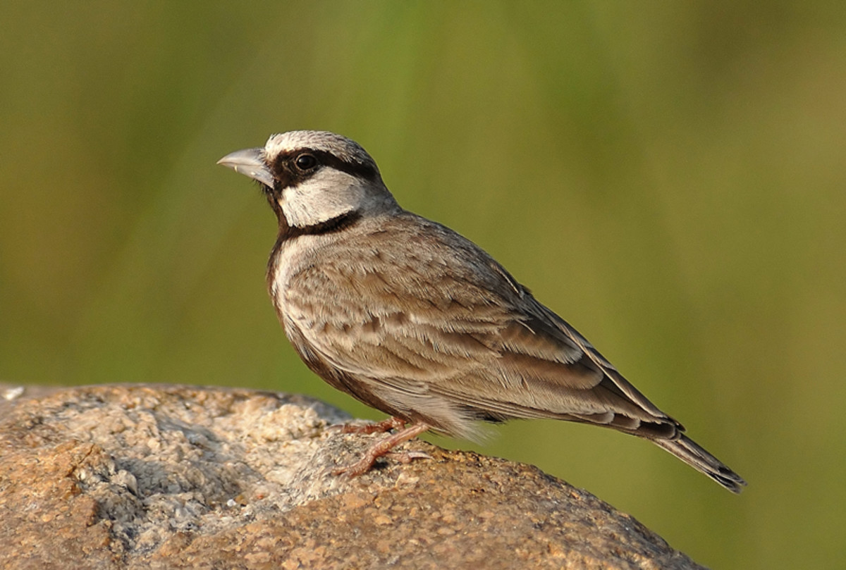 The Sparrow Lark sun bathes in the gentle morning sunshine. (Chitravati river banks)