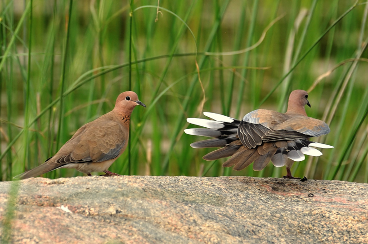 The courtship dance of the Laughing dove is hard to resist for any on looker! (Banks of Chitravati river)