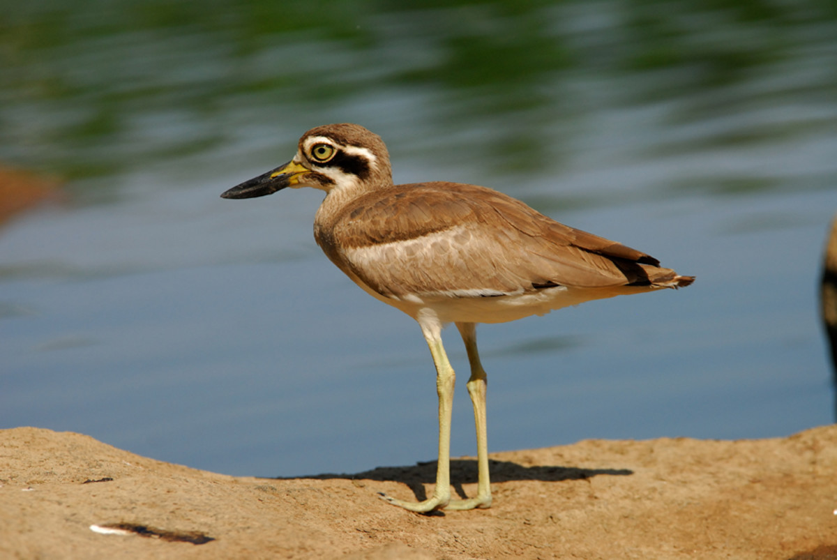 The Great Stone Plover is a fast runner and an excellent swimmer. Beware crustaceans! (Bukkapatnam lake)